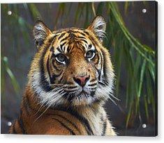 Sumatran Tiger Acrylic Print by Martin Willis
