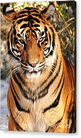 Acrylic Print featuring the photograph Sumatran Tiger by Olivia Hardwicke