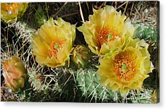 Summer Cactus Blooms Acrylic Print