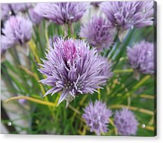 Summer Chives Acrylic Print