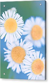 Summer Daisies Acrylic Print