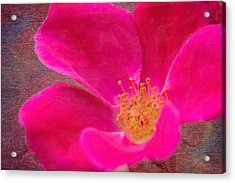 Summer Delight My Pink Rose Acrylic Print by Denyse Duhaime