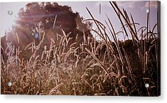 Summer Grasses Acrylic Print