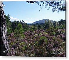 Summer In Abernethy Forest Acrylic Print