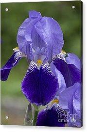 Summer Iris Acrylic Print