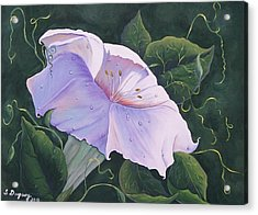 Morning Glory  Acrylic Print