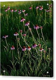 Summer Of Echinacea Acrylic Print