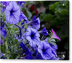 Acrylic Print featuring the photograph Summer Petunias by Wilma  Birdwell