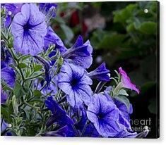 Summer Petunias Acrylic Print by Wilma  Birdwell