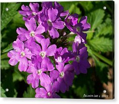 Acrylic Print featuring the photograph Summer Phlox by Belinda Lee