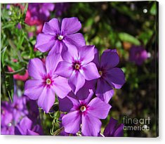 Acrylic Print featuring the photograph Summer Purple Phlox by D Hackett