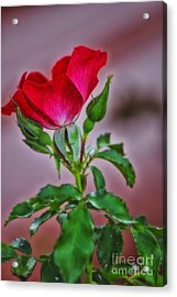 Summer Rose Acrylic Print by Thomas Woolworth
