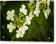 Acrylic Print featuring the photograph Summer Snowflakes Viburnum  by Ben Shields