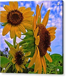 Acrylic Print featuring the photograph Summer Suns by John Harding