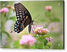 Summer Swallowtail Acrylic Print by Lorri Crossno