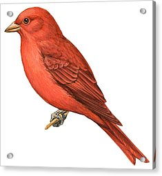 Summer Tanager  Acrylic Print by Anonymous