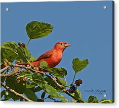 Summer Tanager Acrylic Print by Mike Fitzgerald