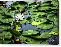 Summer Water Lily 1 Acrylic Print by Susan Cole Kelly Impressions