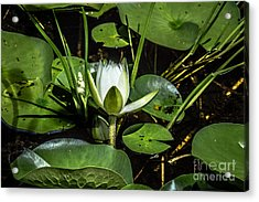 Summer Water Lily 2 Acrylic Print by Susan Cole Kelly Impressions