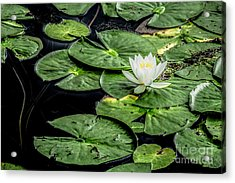 Summer Water Lily 3 Acrylic Print by Susan Cole Kelly Impressions