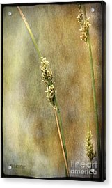 Acrylic Print featuring the photograph Summr Grasses V by Chris Armytage