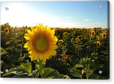 Sun And Sunflower 2  Acrylic Print
