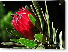 Sun-filled Protea Acrylic Print by Kaye Menner