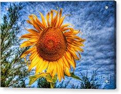 Sun Flower Acrylic Print by Adrian Evans