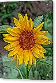 Sun Flower Acrylic Print