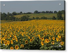 Sun Flower Sea Acrylic Print