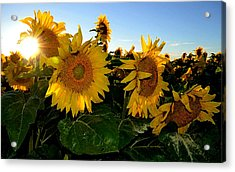 Sun Flowers And Pollen Wcae2  Acrylic Print