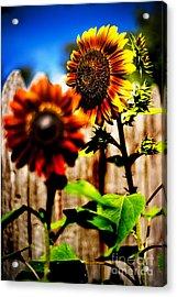 Sun Flowers Acrylic Print by Randall  Cogle