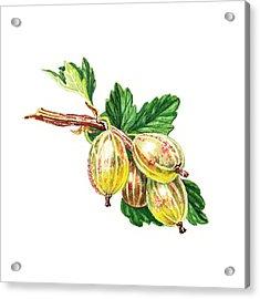 Sun Kissed Green Gooseberries Acrylic Print