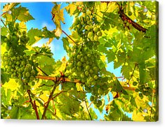 Sun Kissed Green Grapes Acrylic Print by Eti Reid