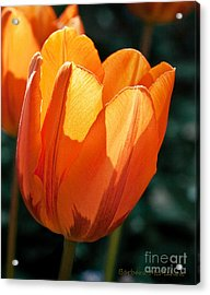 Acrylic Print featuring the photograph Sun Kissed Tulip by Barbara McMahon