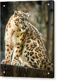 Acrylic Print featuring the photograph Sun Leopard Portrait by Chris Boulton