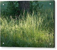 Sun Lit Grasses Acrylic Print