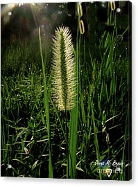 Acrylic Print featuring the photograph Sun-lite Grass Seed by Donna Brown