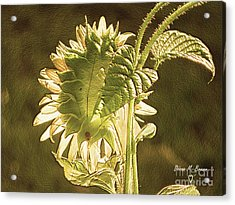 Acrylic Print featuring the photograph Sun-lite Sunflowwer by Donna Brown