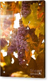 Sun Ripened Grapes Acrylic Print by Diane Diederich
