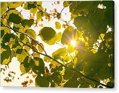 Sun Shining Through Leaves Acrylic Print by Chevy Fleet