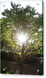Sun Shining Through Tree Acrylic Print by John McGraw