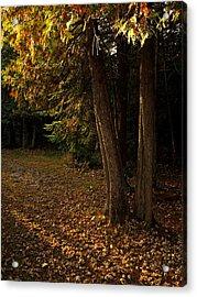 Sun Struck Cedars Acrylic Print by Stan Wojtaszek