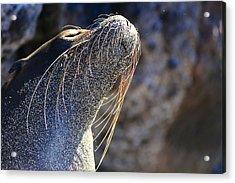 Sunbathing Galapagos Sea Lion Acrylic Print