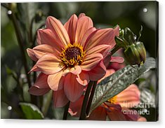 Sunbathing Dahlia Acrylic Print