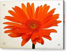 Sunburst Zinnia Acrylic Print by Sherry Allen