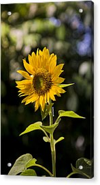 Sunday Sunflower Acrylic Print by Benazio Putra
