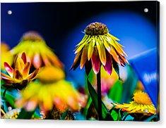 Sundaze Flame Strawflower Acrylic Print