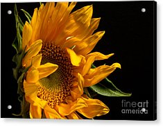 Sunflower 2010 Acrylic Print