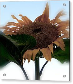 Sunflower 4 Acrylic Print